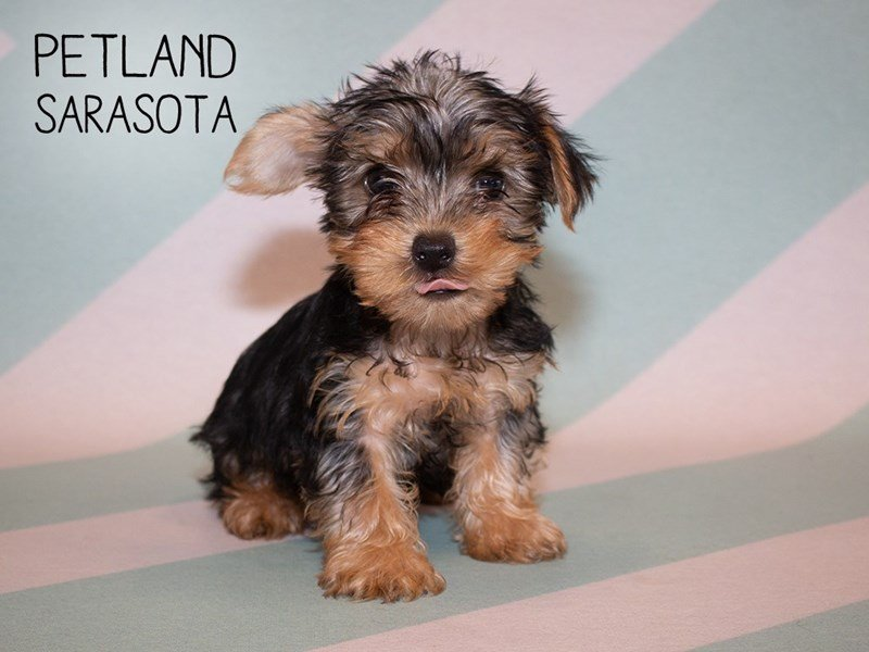 Yorkshire Terrier-Male-BLACK TAN-2356591-Petland Sarasota