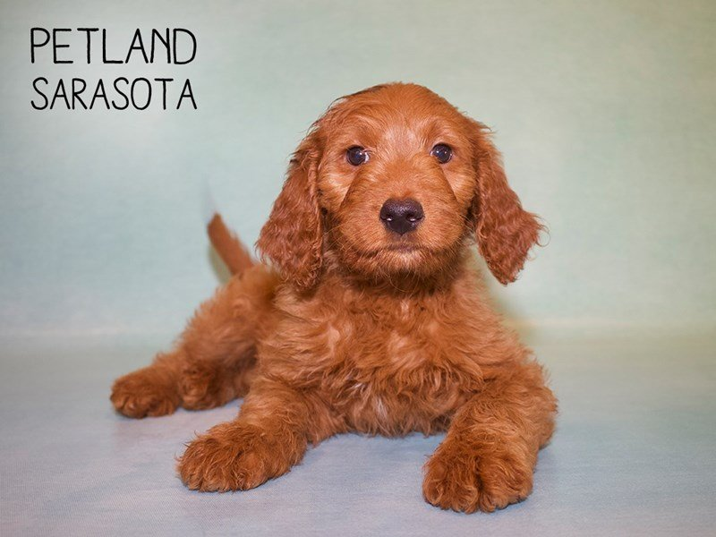 Goldendoodle-Male-Golden-2378530-Petland Sarasota