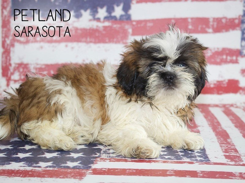 Shih Tzu-Female-BROWN WHITE-2384948-Petland Sarasota