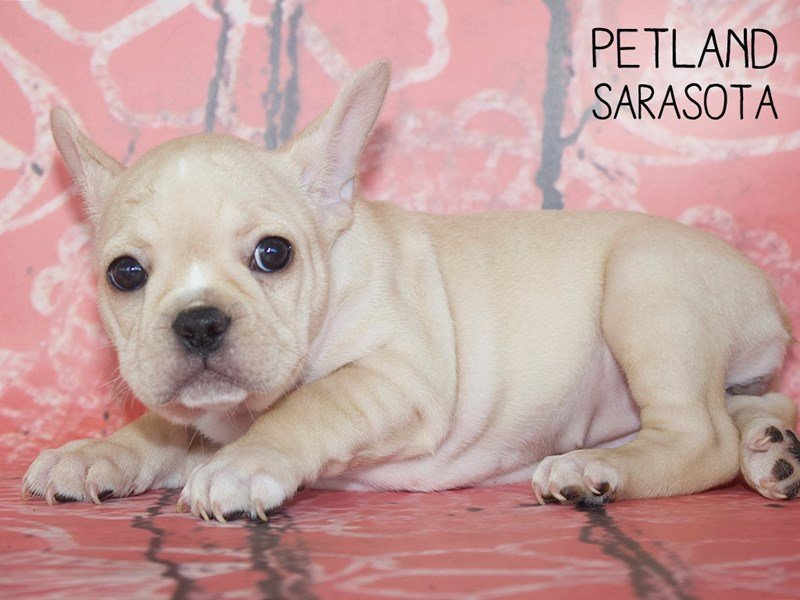 French Bulldog-Female-White-2393832-Petland Sarasota