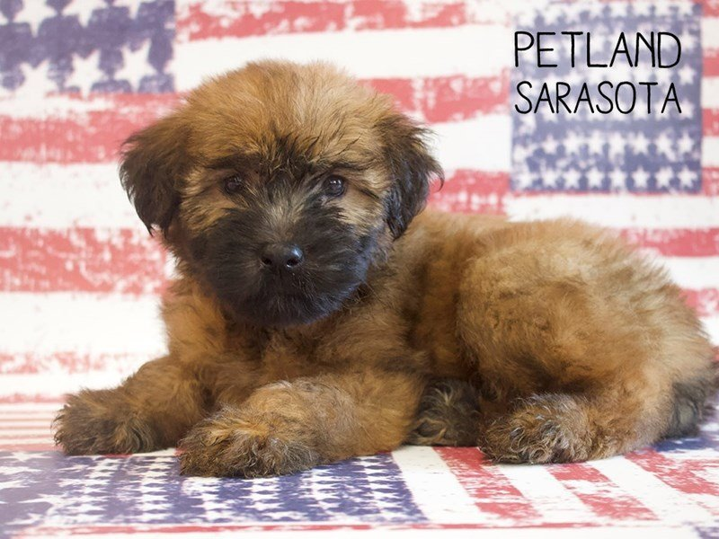 Soft Coated Wheaten Terrier-Male-Wheaton-2391009-Petland Sarasota