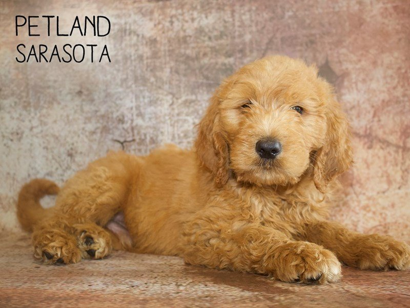 Goldendoodle-Male-Dark Red-2396627-Petland Sarasota