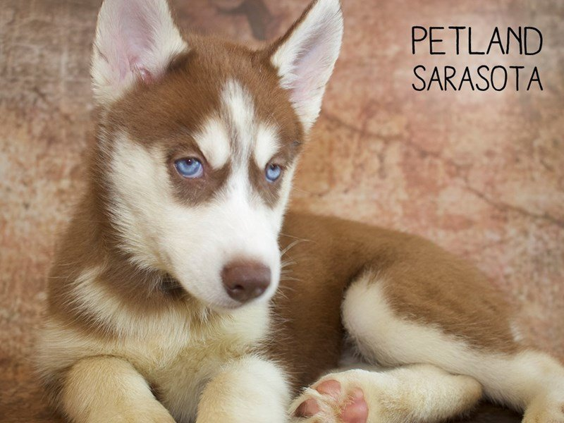 Siberian Husky-Female-Red & White-2396503-Petland Sarasota