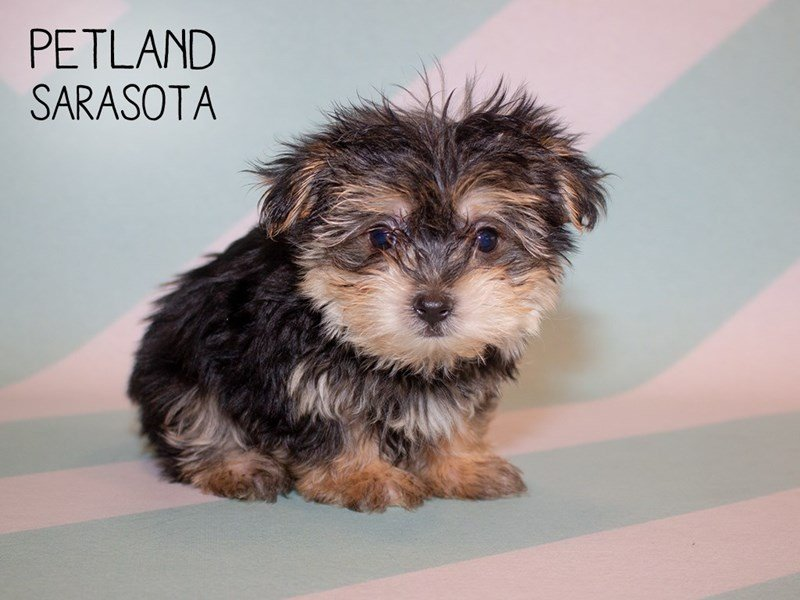 Morkie-Male-Black Tan-2356397-Petland Sarasota
