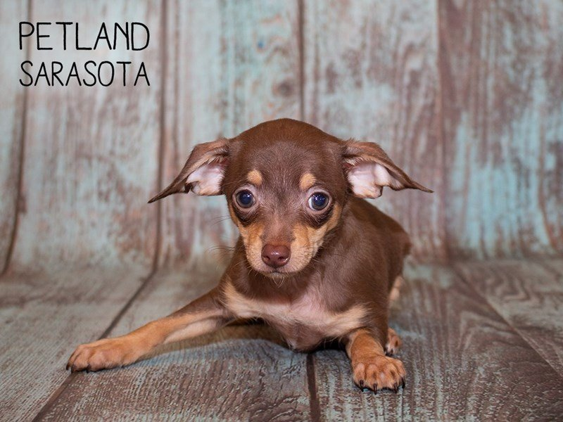 Chihuahua Puppies - Visit Petland in Sarasota County, Florida