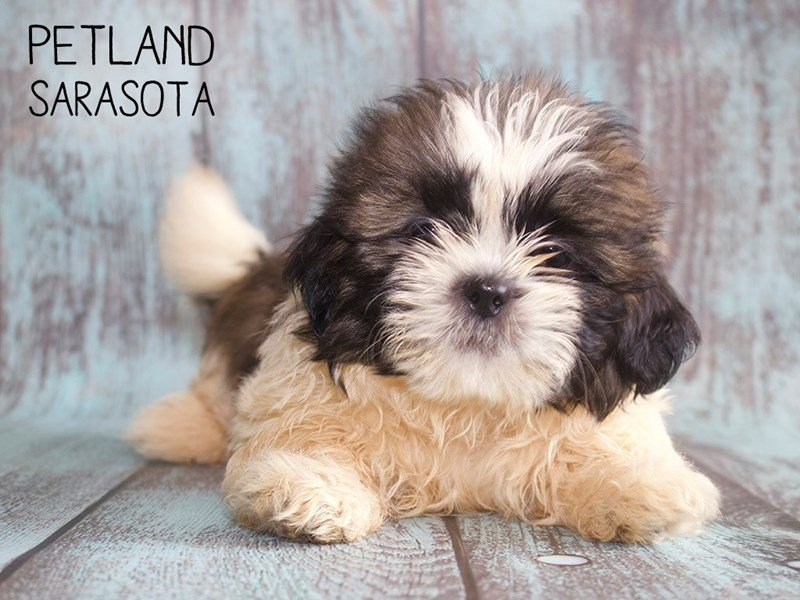 Shih Tzu-Male-brown white-2420993-Petland Sarasota