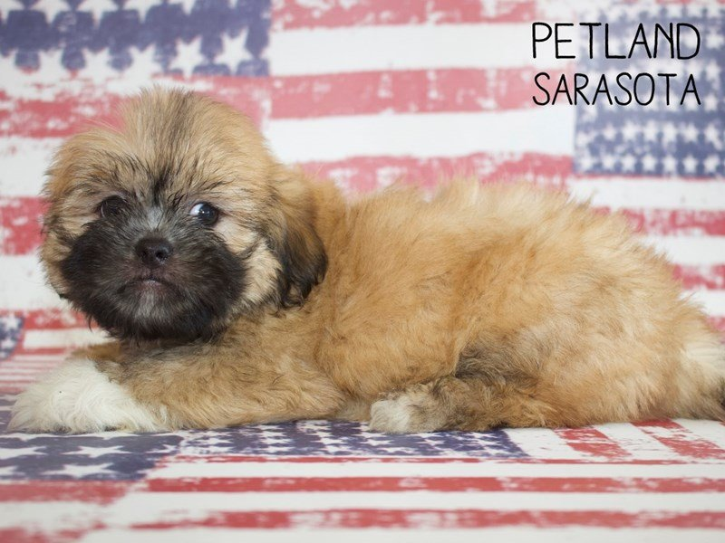 Lhasa Apso-Male-BROWN WHITE-2391193-Petland Sarasota