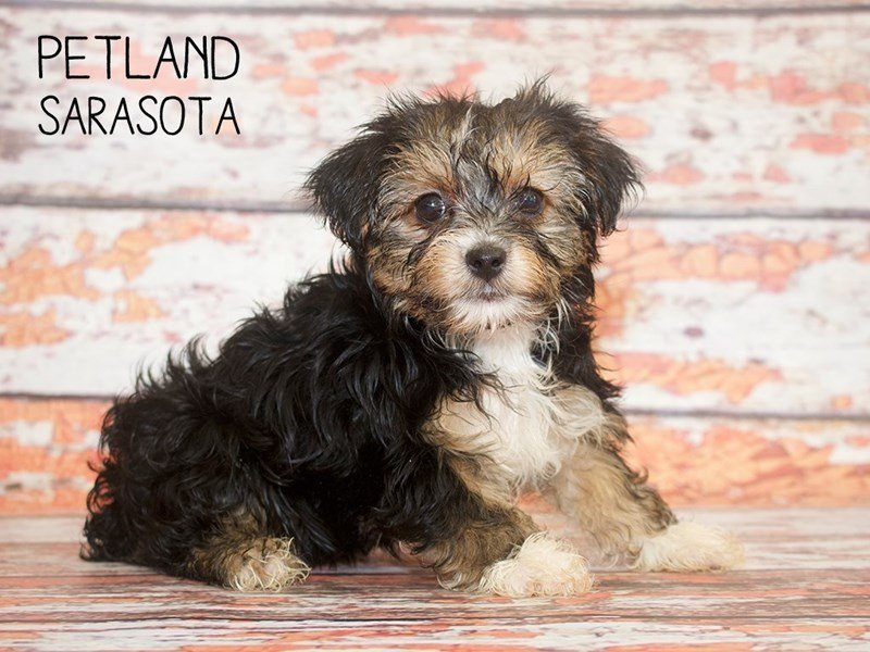 Yorkiepoo-DOG-Female-BLK TAN-2414684-Petland Sarasota