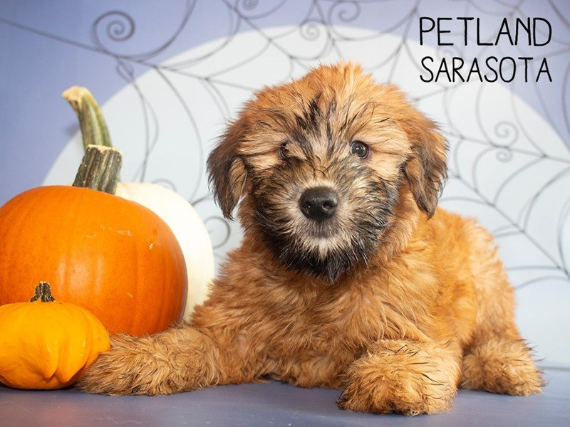 Soft Coated Wheaten Terrier-Female-Wheaten-2473682-Petland Sarasota