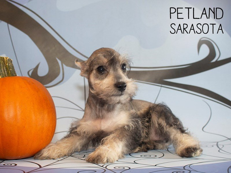 Miniature Schnauzer-Female-SALT PEPPER-2496712-Petland Sarasota