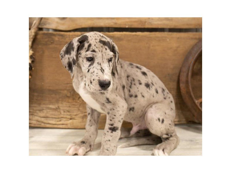Great Dane-Male-Blue Merle-2520760-Petland Sarasota