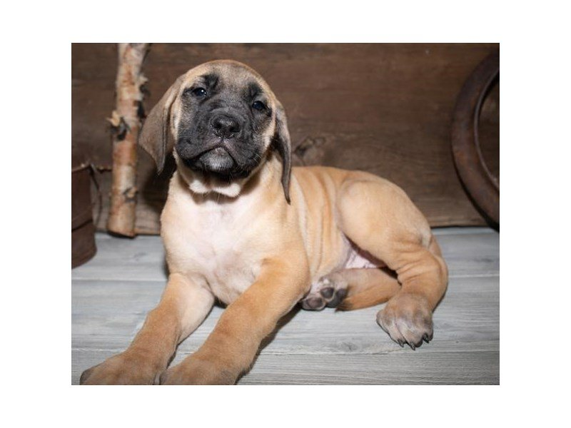 English Mastiff-Female-Fawn-2527325-Petland Sarasota