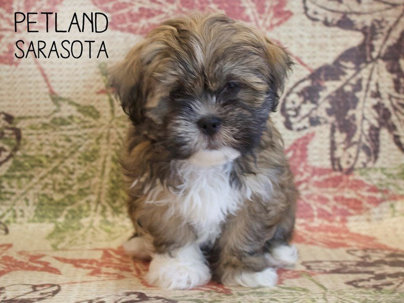 Lhasa Apso-Female-Brown White-2530361-Petland Sarasota