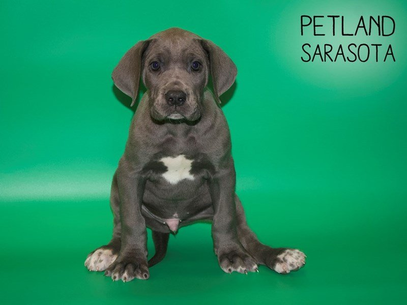 Great Dane-Male-Gray-2560890-Petland Sarasota