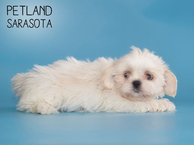 Shih Tzu-Male-BROWN WHITE-2588430-Petland Sarasota