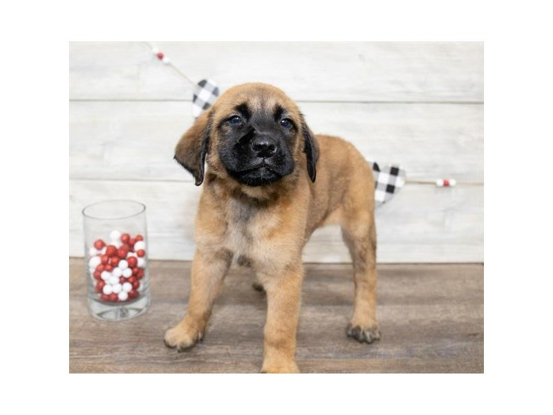 English Mastiff-Male-Fawn-2607685-Petland Sarasota