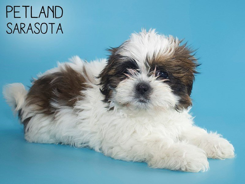 Shih Tzu-Male-brown white-2624989-Petland Sarasota