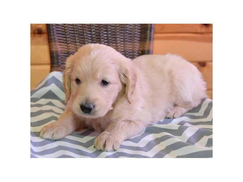 Goldendoodle 2nd Gen-Male-Cream-2636721-Petland Sarasota
