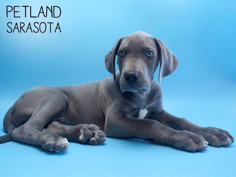 Great Dane-Male-Gray-2632023-Petland Sarasota