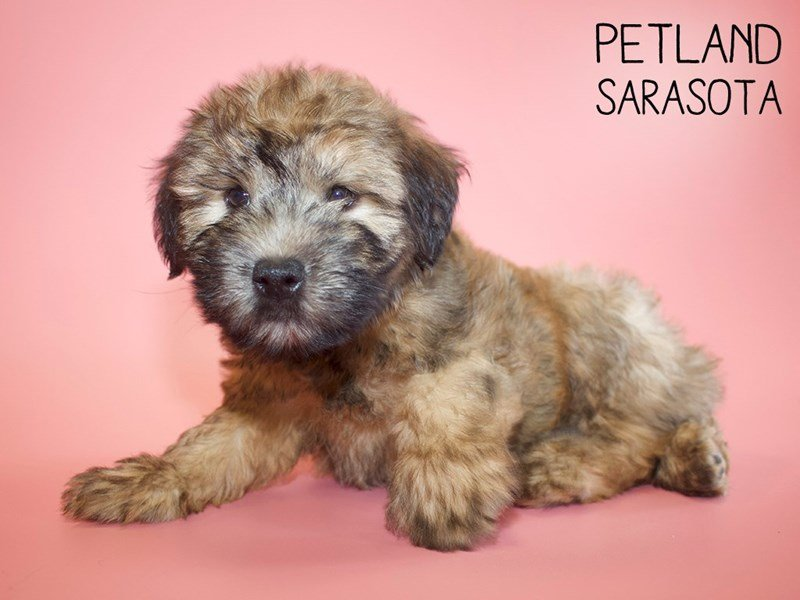 Soft Coated Wheaten Terrier-Female-Wheaten-2644412-Petland Sarasota