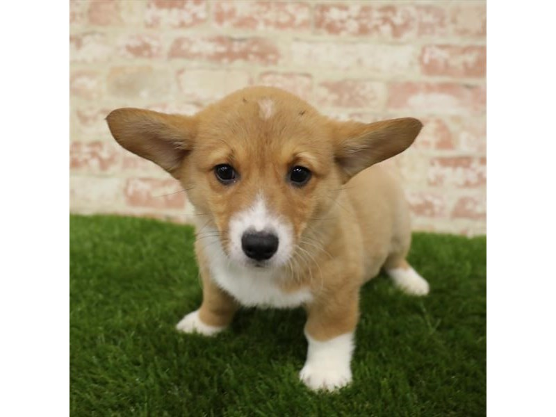 Pembroke Welsh Corgi-Male-Red / White-2724121-Petland Sarasota