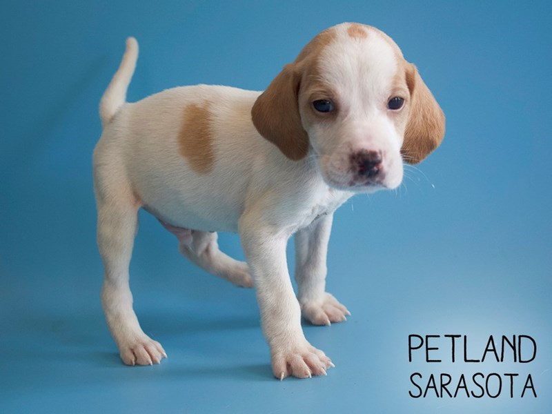 Beagle-Male-Lemon / White-2745933-Petland Sarasota