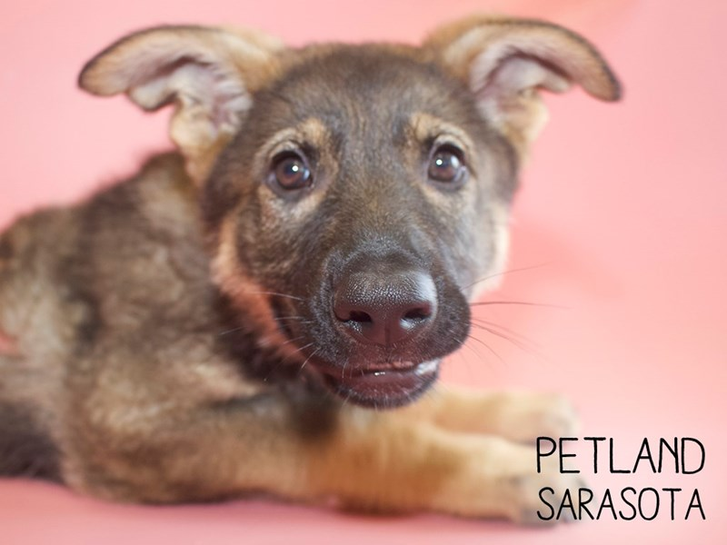 German Shepherd-Female-Black Tan-2748776-Petland Sarasota