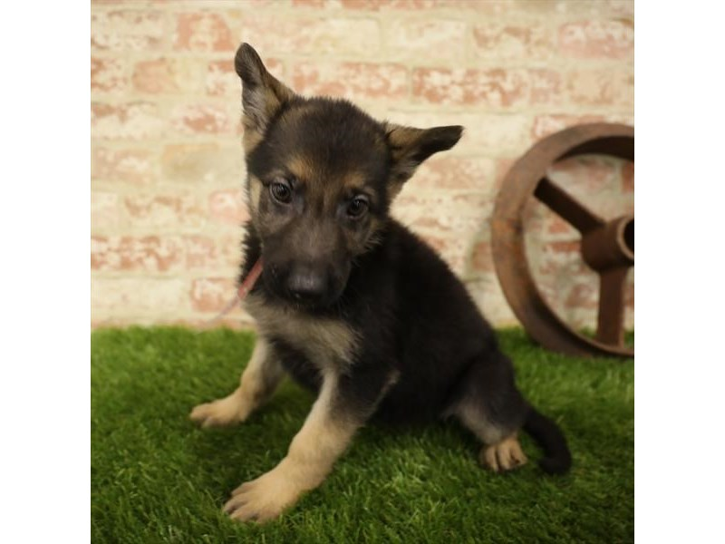 German Shepherd-Female-Black / Tan-2731160-Petland Sarasota
