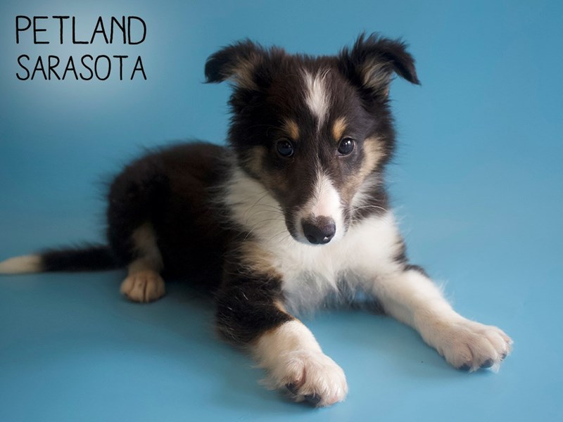 Shetland Sheepdog-Male-Black White / Tan-2746146-Petland Sarasota