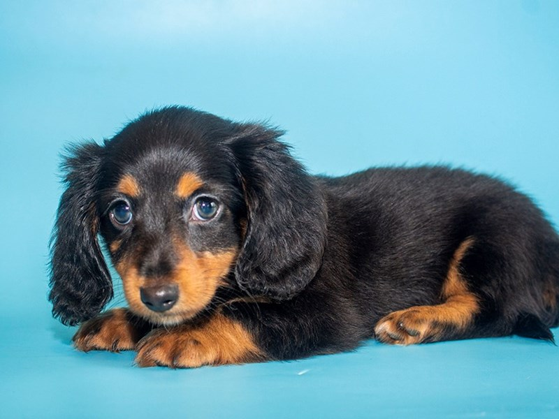 Dachshund-DOG-Male-black tan-2771752-Petland Sarasota