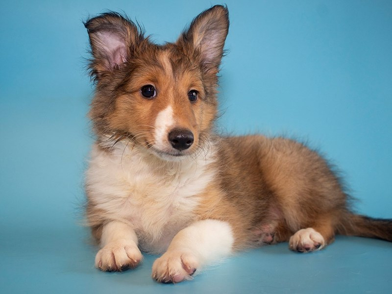 Shetland Sheepdog-Male-Sable & White-2764070-Petland Sarasota