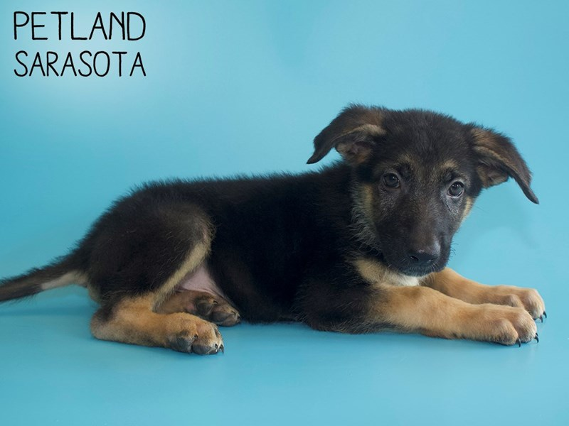 German Shepherd-DOG-Male-Black / Tan-2798174-Petland Sarasota