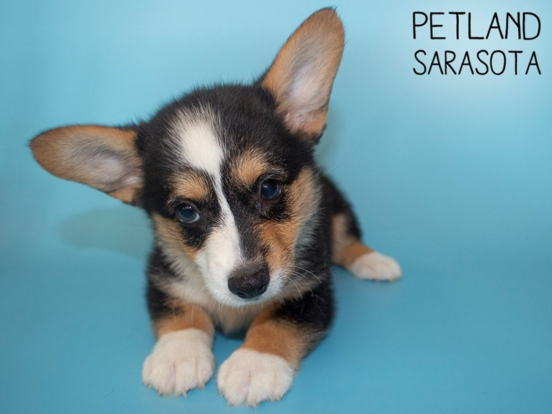 Pembroke Welsh Corgi-Male-Black White / Tan-2805568-Petland Sarasota