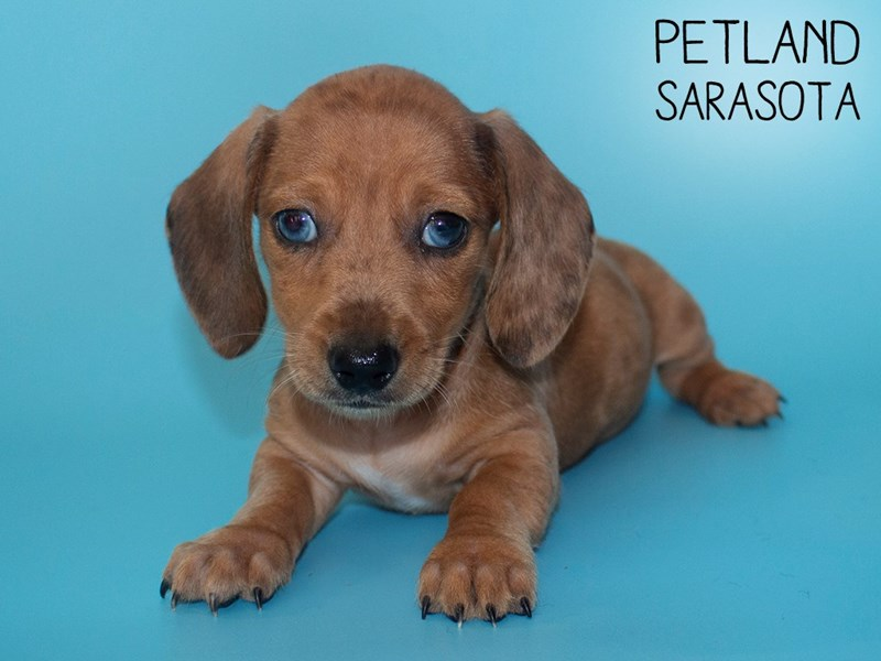 Dachshund-Male-Red-2805562-Petland Sarasota