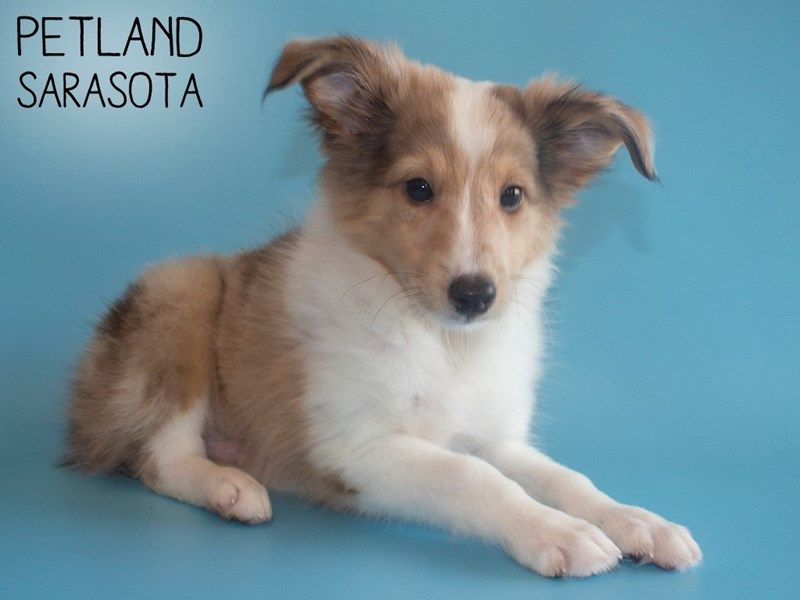 Shetland Sheepdog-Male-Sable / White-2805565-Petland Sarasota