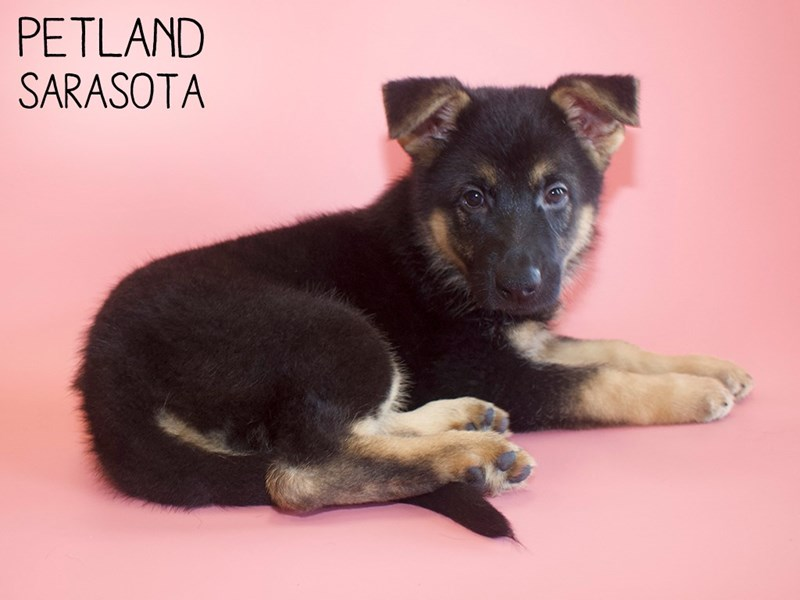 German Shepherd-Female-Black & Tan-2816726-Petland Sarasota