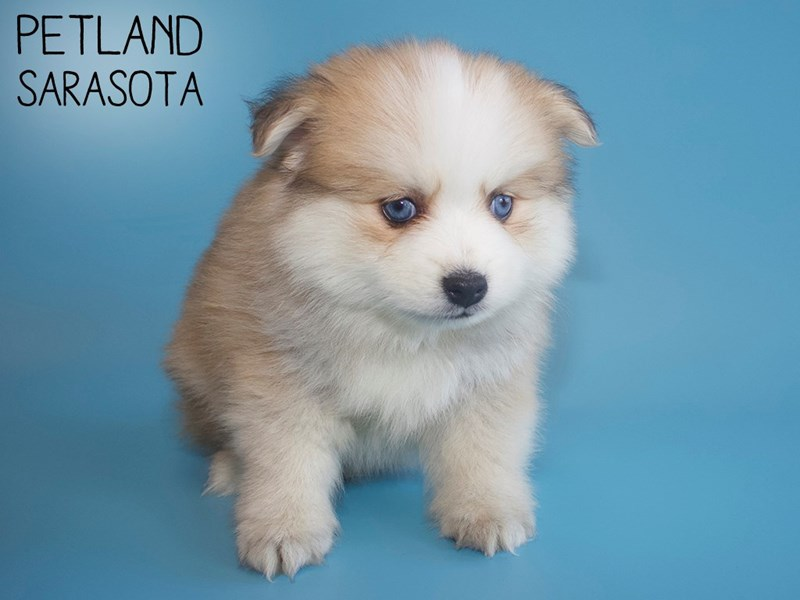 Pomsky-Male-RED WH-2824077-Petland Sarasota