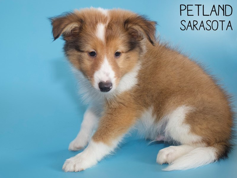Shetland Sheepdog-Male-Sable / White-2829039-Petland Sarasota
