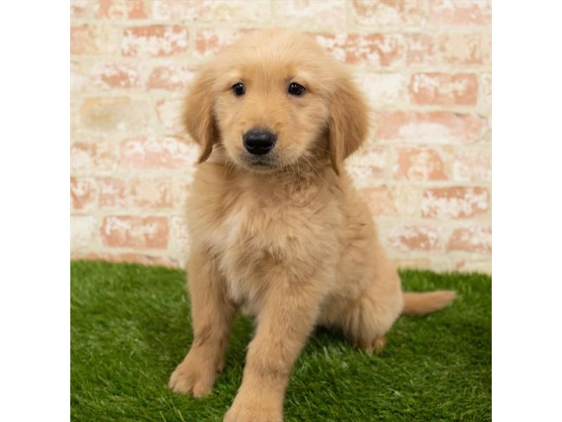 Golden Retriever-Male-Golden-2886116-Petland Sarasota